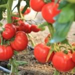 paradajz-socan-v