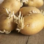 krompir-proklijao