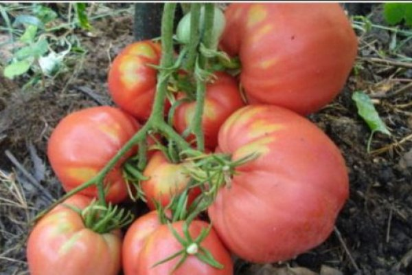 velik-paradajz