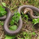 zmija-otorvnica