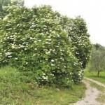 zzova-cvijet