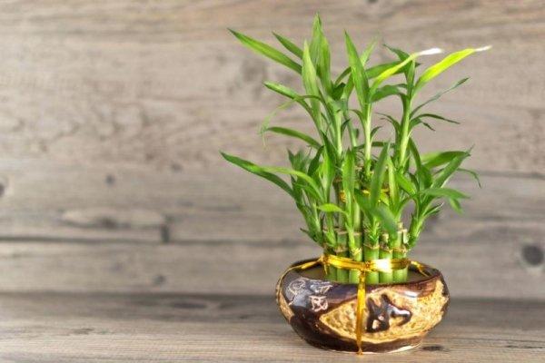 bambus-drvo