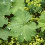 biljka-zene
