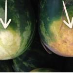 lubenica-dobra