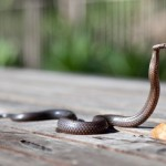 zmija-penje