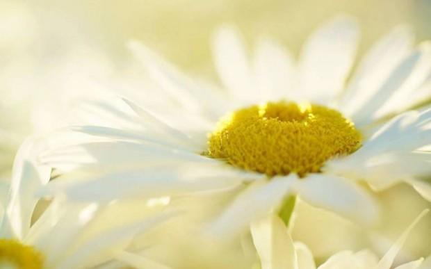 zut-cvijece
