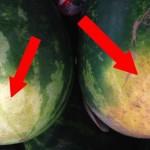 lubenice-naslovna